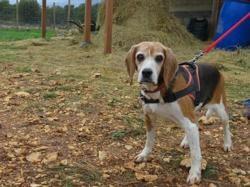 Piera, Chien beagle à adopter