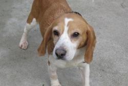 Rose, Chien beagle à adopter