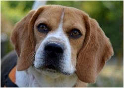 Grems, Chien beagle à adopter