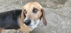 Hanson, Chien beagle à adopter