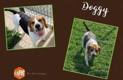 Doggy (réservé), Chien beagle à adopter