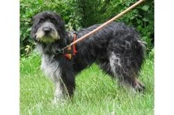 Coquine vaa21657, Chien bearded collie à adopter
