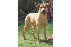 Rina vaa21426, Chiot berger à adopter