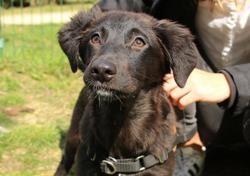 Kim (réservée) oaa18232, Chiot berger à adopter