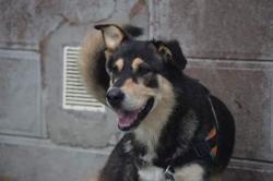 Manba, Chien berger à adopter
