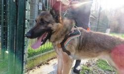 Picsou, Chien berger allemand à adopter