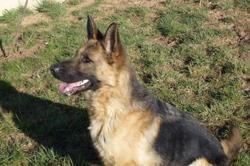 Joyla, Chien berger allemand à adopter