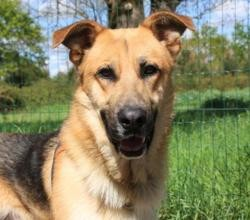 Polochon(réservé), Chien berger allemand à adopter
