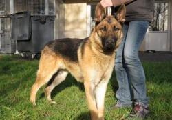 Rex, Chien berger allemand à adopter