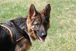 Scar, Chiot berger allemand à adopter