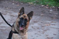 Madi, Chien berger allemand à adopter