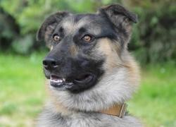 Odin chao10602, Chien berger allemand à adopter