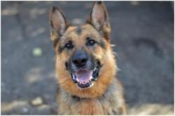 Duc, Chien berger allemand à adopter