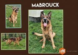 Mabrouck, Chien berger allemand à adopter