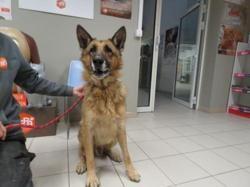 Falko, Chien berger allemand à adopter