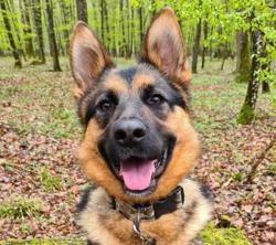 Bosco, Chien berger allemand à adopter