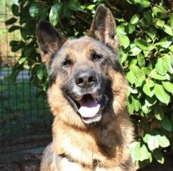 Ghost, Chien berger allemand à adopter