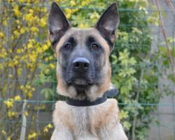 Teck chao8599, Chien berger belge malinois à adopter