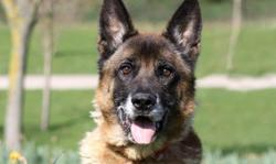 Enzo, Chien berger belge malinois à adopter