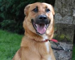 Tigrou chao9725, Chien berger belge malinois à adopter