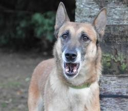 Somy chao9418, Chien berger belge malinois à adopter