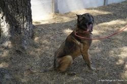 Jerico, Chien berger belge malinois à adopter