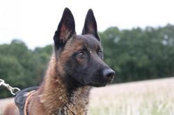 Buster haa22492, Chien berger belge malinois à adopter