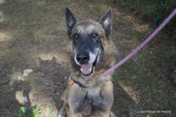 Donco, Chien berger belge malinois à adopter