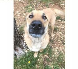 Solidaire moka, Chien berger belge malinois à adopter