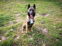 Orion, Chien berger belge malinois à adopter