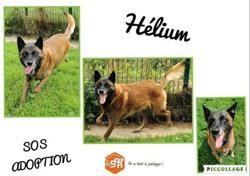 Helium, Chien berger belge malinois à adopter