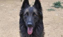 Larko, Chien berger belge tervueren à adopter