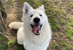 Rocky paa20291, Chien berger blanc suisse à adopter