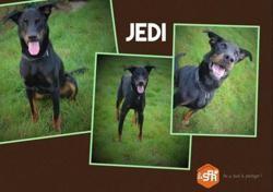 Jedi, Chien berger de beauce à adopter