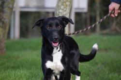 Lucky, Chien border collie à adopter