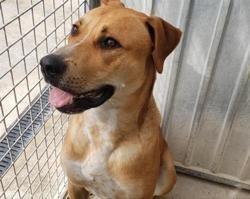 Scooby reserve, Chiot bouledogue américain à adopter