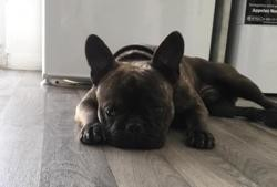 Milo, Chien bouledogue francais à adopter