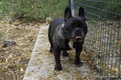Guizmo, Chien bouledogue francais à adopter