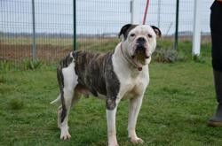 Jepetto, Chien bull dog americain à adopter