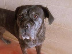 Calinou paa18806, Chien cane corso à adopter