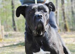 Dina, Chien cane corso à adopter