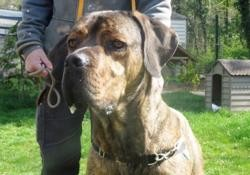 Malekith caa8578, Chien cane corso à adopter