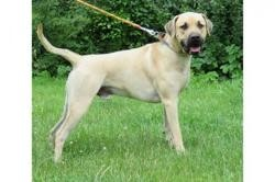 Olaf vaa21651, Chien cane corso à adopter