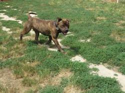 Nasko, Chien cane corso à adopter