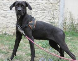 Nala, Chien cane corso à adopter