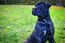 Percy (réservé) oaa18534, Chiot cane corso à adopter