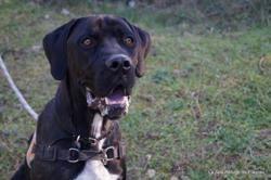 Noha, Chien cane corso à adopter
