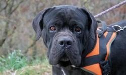 Marquis, Chien cane corso à adopter