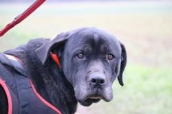 Gwada haa22922, Chien cane corso à adopter