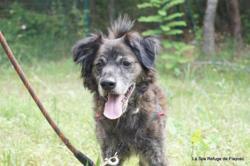Corso, Chien chien corse à adopter